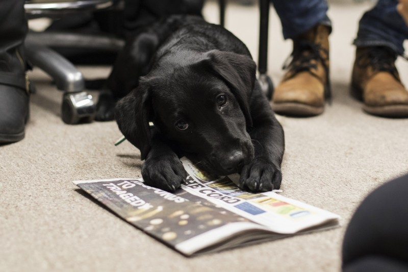 The Cord got a visit from Vaughn, a guide dog in training, during production. He was so excited about our new issue, he got a head start with last week's. (Andreas Patsiauros/Photography Editor)